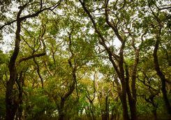 tonle sap lake mangrove