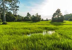angkor rice paddies