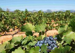 Grapes in vineyard, Mallorca