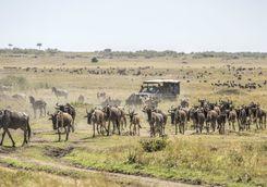 Wildebeest and safari vehicle