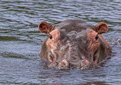 Hippo in Uganda