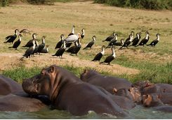 Hippos and birds