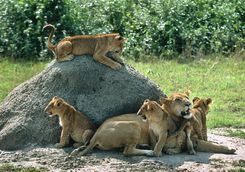 Lions by rock