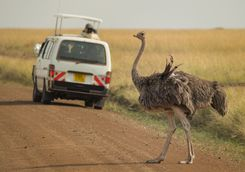 Ostrich on road