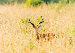 Gazelle in Kenya