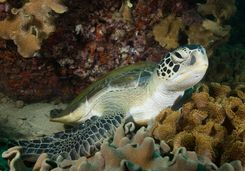 Green turtle, Oman