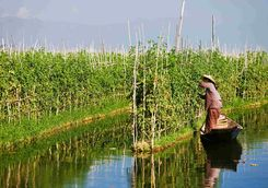 Floating garden on Lake Inle