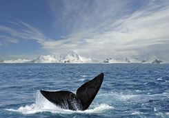 Whale in South Shetland Islands