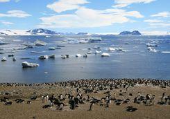 Penguins in Shetland