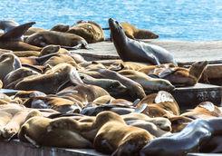 Pier 39 Sea Lion colony