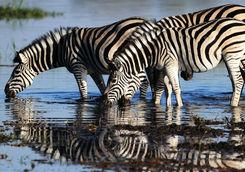 Zebras drinking