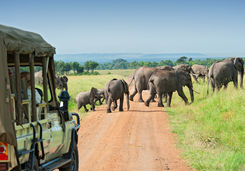 Elephants and safari vehicle