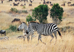 Zebra in the Mara