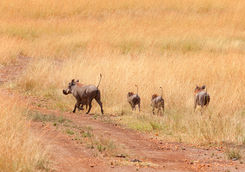Warthogs in Kenya