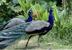Beautiful male Indian peacocks