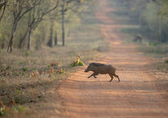 Wild boar crossing the road