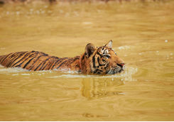 Tiger swimming in a river