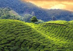 Tea plantation rolling hills at sunset