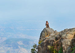 gelada baboon mountain view