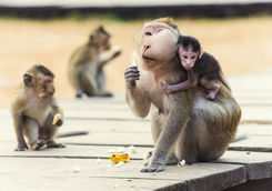 Monkeys at Angkor Wat, Cambodia