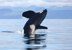 Killer whale leaping out of the water