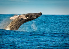 Whale leaping out of the water