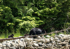 Black Bears in the Pacific Rim National Park Reserve