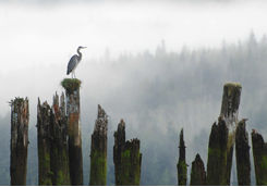 Heron perched on a log
