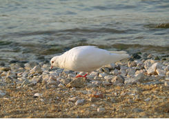 Bird looking for food on a beach in Mykonos