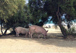 Beach pigs in Mykonos