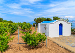 Vineyard in Santorini