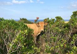 Corsica animals