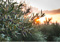 Olive tree sunset