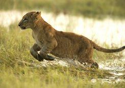 Lion cub running