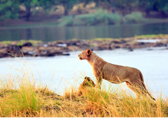 Lions in Zambezi National Park