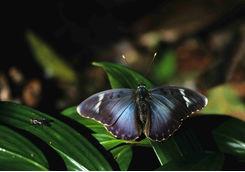 Wild Kibale butterfly