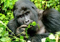Mountain gorilla in Uganda