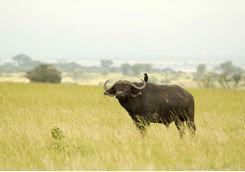 Buffalos grazing in Uganda