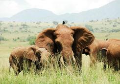 Elephants in Kidepo