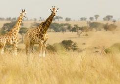 Giraffes in Kidepo