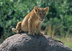 Lion cub in Uganda