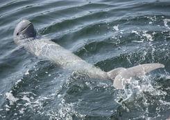 Irrawaddy dolphin in ocean