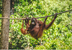 Orangutan swinging with baby