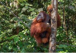 Orangutans Smenggoh Wildlife Centre