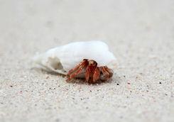 Hermit Crab Borneo