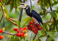 Hornbill Borneo Island