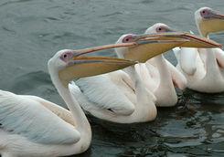 skeleton pelicans