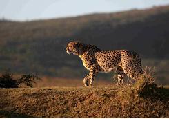 Cheetah hunting Port Elizabeth