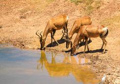 Antelope Port Elizabeth