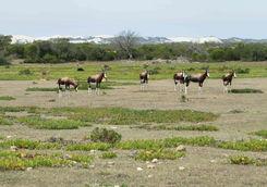 Bonteboks on Hoop reserve